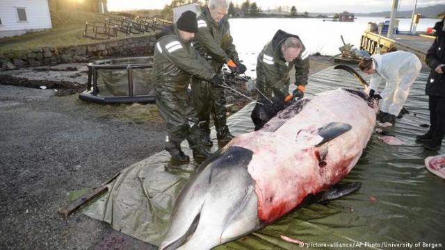 Исландия: киты - туристическая приманка или деликатес? (Видео)