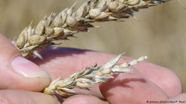 Последствия жары: воспользуется Украины неурожаем зерновых у соседей?