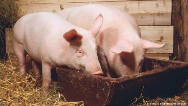 Почему румын свиньями из Украины пугают (видео)