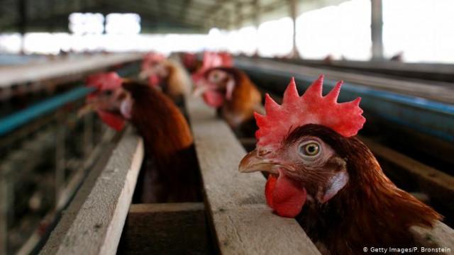 ЕС временно приостановил импорт мяса птицы из Украины