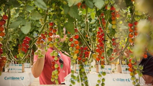 В ОАЭ научились выращивать овощи и фрукты без воды и почвы. В чем секрет?